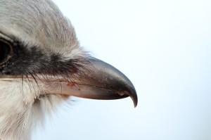 Серый сорокопут (Lanius excubitor). Фото Дмитрия Старикова.
