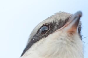 Серый сорокопут смотрит вдаль. Фото Дмитрия Старикова.