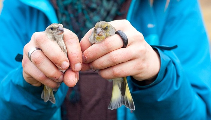 Зеленушки (Chloris chloris), самка (слева) и самец (справа). Фото Дмитрия Старикова.