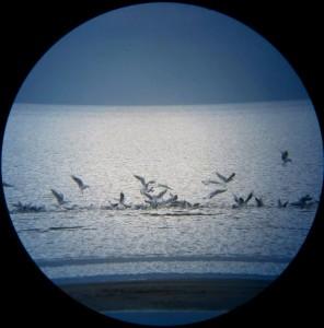 Озёрные чайки (Larus ridibundus).