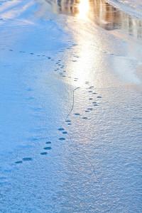 След енотовидной собаки на льду лесной речки