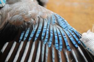 Сойка с неравномерными полосами на кроющих крыла